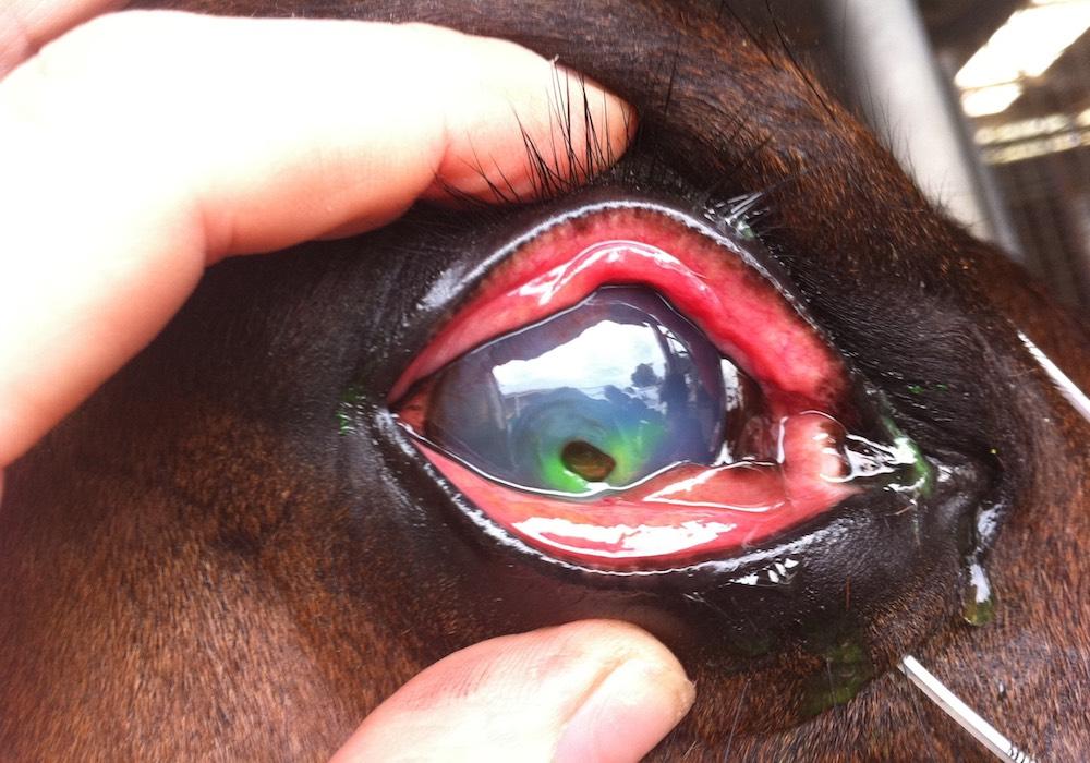Ophthamology, Morphettville Equine Clinic (Hills Clinic), South Australia