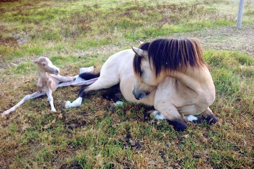 Foaling Guide, Morphettville Equine Clinic (Hills Clinic), South Australia